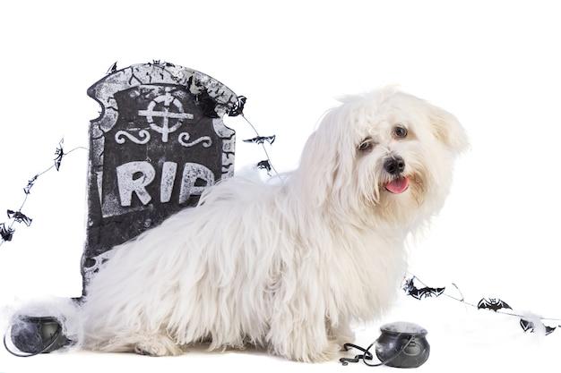 Bichon Maltański Z Dekoracją Nagrobną Do Halloween Na Białym Tle Premium Zdjęcia