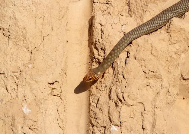 Biczogon kaspijski (dolichophis caspius) czołga się wzdłuż pionowej glinianej ściany do gniazd żołna