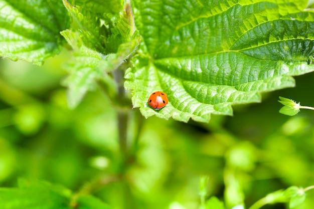 Biedronka na arkuszu zielonej porzeczki rosnącej w owocowym ogrodzie i sfotografowana w sezonie wiosennym