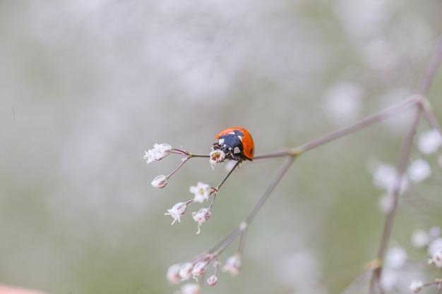 Biedronka na białym małym kwiatku gypsophila paniculata, oddech dziecka, pospolita łyszczec, paniczny oddech dziecka