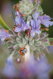 Biedronka na fioletowych płatkach kwiatów