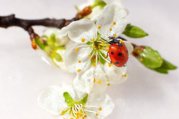 Biedronka na gałęzi kwitnącej białej śliwki.