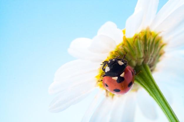Biedronka na kwiatku nad błękitnym niebem