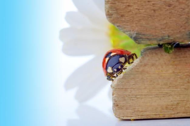 Biedronka na kwiatku rumianku pod błękitnym niebem
