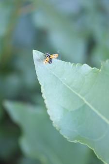 Biedronka na zielonym liściu