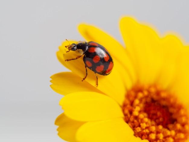 Biedronka na żółtym kwiacie. fotografia makro.