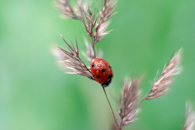 Biedronka siedzi na suchej trawie w lecie.