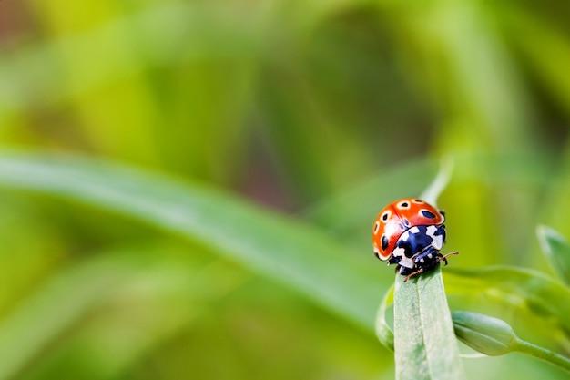 Biedronka siedzi na trawie