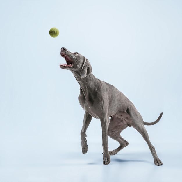Biegacz duchów. wyżeł weimarski bawi się piłką i skacze. śliczny figlarny szary piesek lub zwierzę figlarne łapanie zabawka na białym tle na niebieskim tle. pojęcie ruchu, akcji, ruchu, miłości do zwierząt.