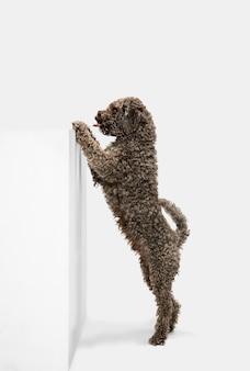 Bieganie. śliczny słodki szczeniak lagotto romagnolo ładny pies lub zwierzę domowe, pozowanie na białym tle