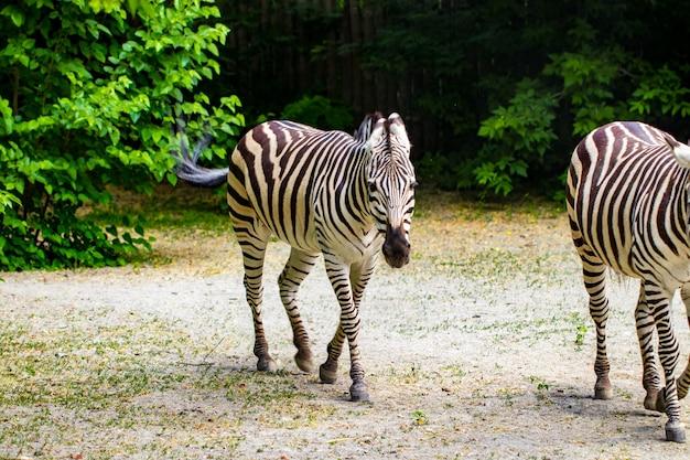 Biegnące zebry.