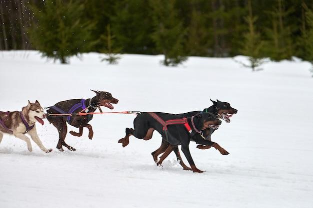 Biegnący pies doberman na wyścigach psich zaprzęgów. zimowe zawody drużynowe psich zaprzęgów sportowych