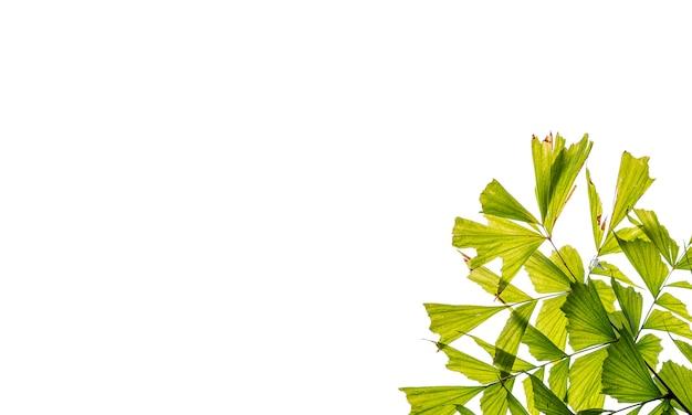 Biel Odizolowywa Tło Z Palmą Fishtail Premium Zdjęcia