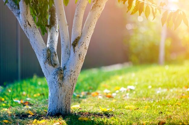 Bielona kora drzewa rosnącego w słonecznym ogrodzie