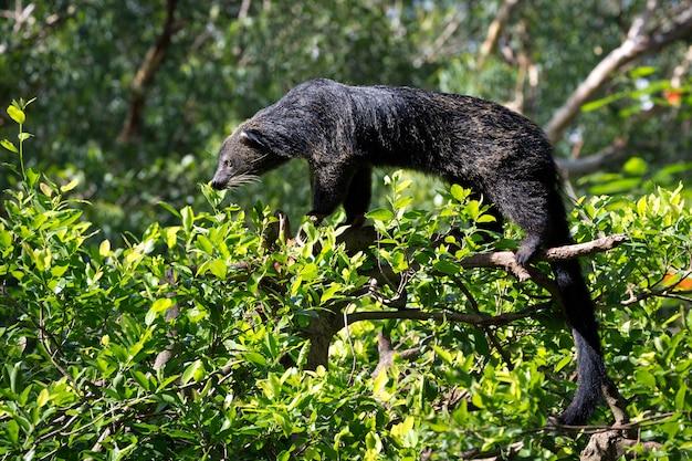 Binturong, bearcat, (arctictis binturong) na drzewie.