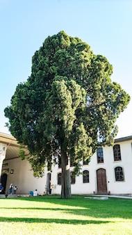 Bir drzewo na terenie sułtana, stambuł, turcja.