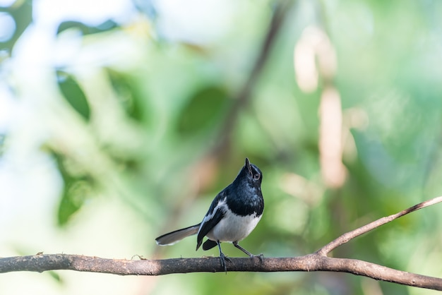 Bird (oriental sroka robin) w dzikiej przyrody