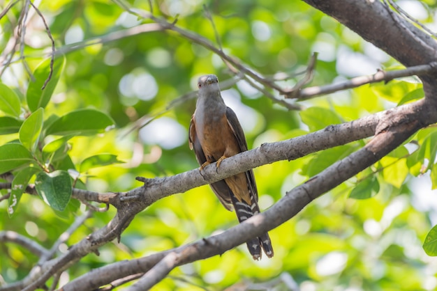 Bird (plaintive cuckoo) w naturze dzikiej