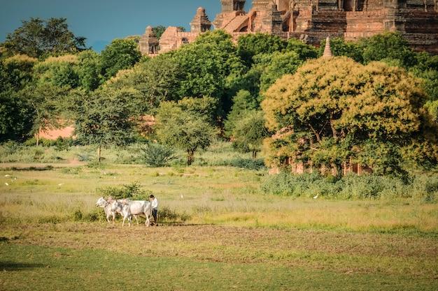 Birmański rolnik pracuje z bykami na jego ryżu polu z pięknymi antycznymi świątyniami i pagodą w archeologicznej strefie, punkt zwrotny dla atrakcji turystycznych.