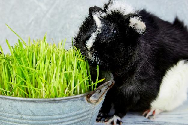 Blacck świnka morska w pobliżu wazon ze świeżą trawą. studio foto.