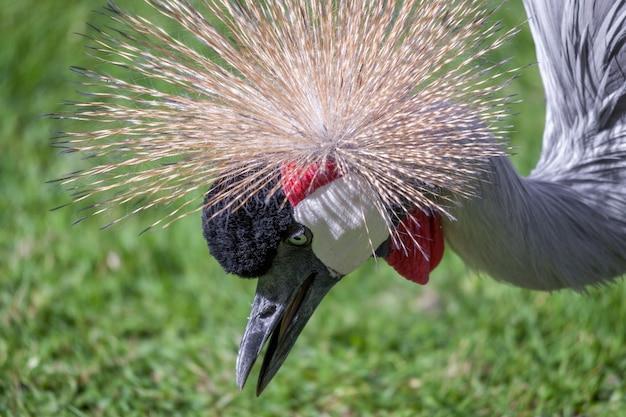 Black crowned crane szuka pożywienia