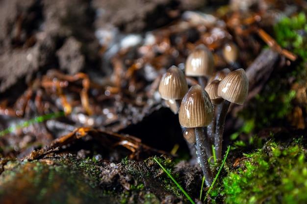 Blade muchomory w lesie na pniu pokrytym mchem