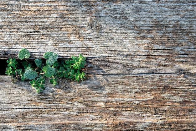 Bladobrązowa i chłodna niebieska powierzchnia z odzyskanego drewna sosnowego z postarzanymi deskami i soczystymi zielonymi roślinami.