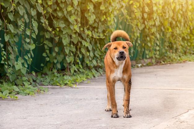 Błądząca psia pozycja na zewnątrz dopatrywania gapi się przy kamerą. pies patrzy na fotografa, bezpański pies, pies bezdomny