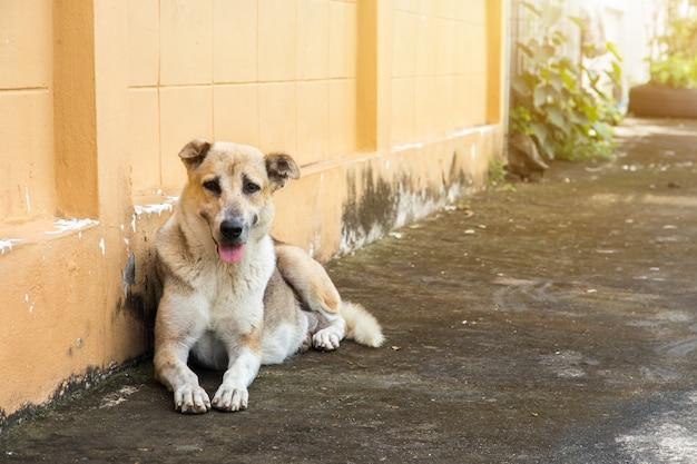Błądzący pies kucnięcie na zewnątrz ogląda gapi się przy kamerą. pies patrzy na fotografa, bezpański pies, pies bezdomny