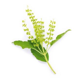 Blansz świeżych liści bazylii świętej izolować na białym tle.