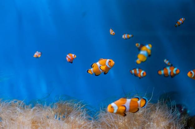 Błazen ryba i anemony na błękitnym tle