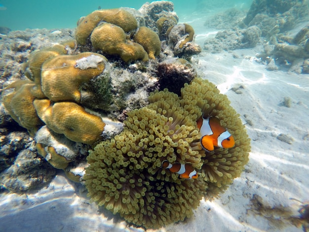 Błazenki z zawilcami pod powierzchnią morza