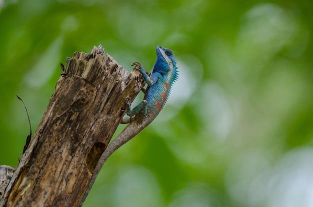 Błękitna czubata jaszczurka w tropikalnym lesie, thailand