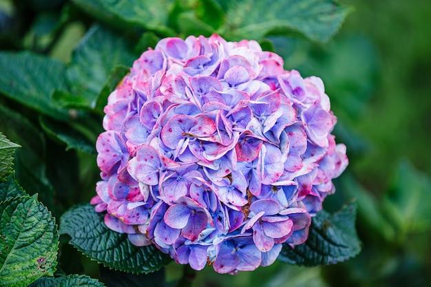 Błękitna hortensi kwiatu głowa w ogródzie (hortensi macrophylla)