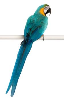 Błękitna i żółta ara, arony ararauna, umieszczająca na słupie na bielu odizolowywającym