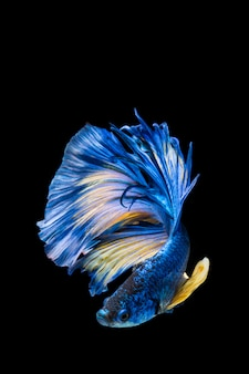 Błękitna i żółta betta ryba, siamese bój ryba na czarnym tle