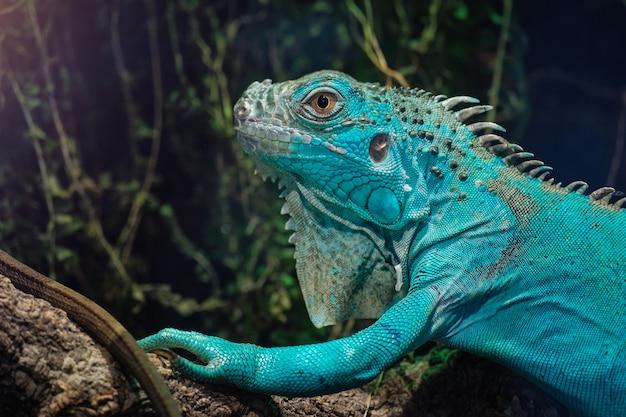 Błękitna iguana w park zieleni planecie dubai
