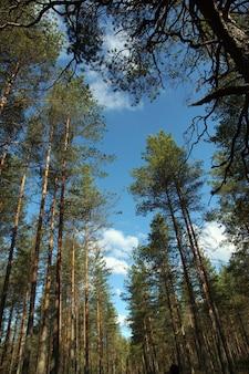 Błękitne niebo z chmurami prześwituje przez korony wysokich, prostych sosen.