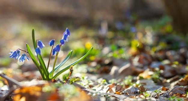 Błękitne śnieżyczki w wiosny panoramy lasowej fotografii. scylla kwitnie w parku z bliska z miejscem na wyjątkowy test. niebieskie kwiaty w lesie wiosną