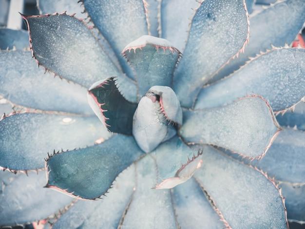 Błękitny agawy zakończenie w górę tła