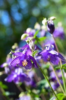 Błękitny aquilegia kwitnie zbliżenie