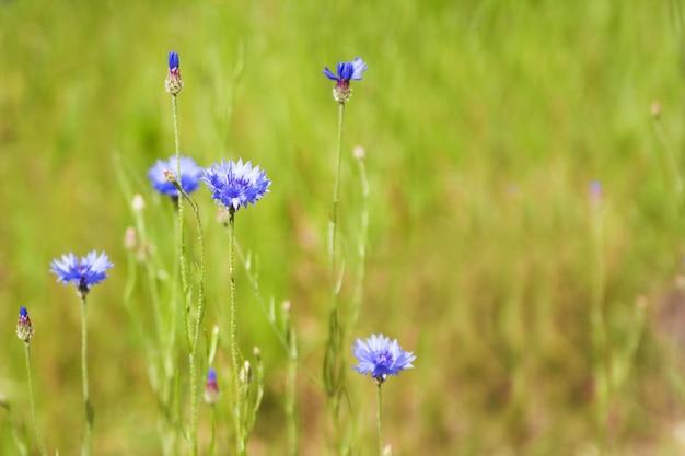 Błękitny chabrowy (centaurea cyanus) kwitnie na tle piękny wieczór zaświeca. wildflower chabrowy makro-, selekcyjna ostrość
