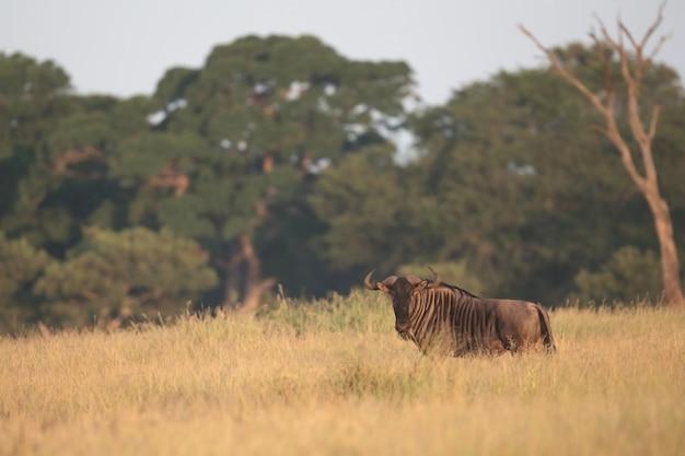 Błękitny gnu odpoczywa w kruger parku narodowym