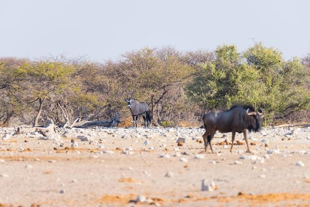Błękitny gnu odprowadzenie w krzaku. przyroda safari w etosha parku narodowym, sławny podróży miejsce przeznaczenia w namibia, afryka.