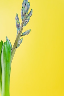 Błękitny hiacyntowy kwiat zamykający pączek na żółtym tle