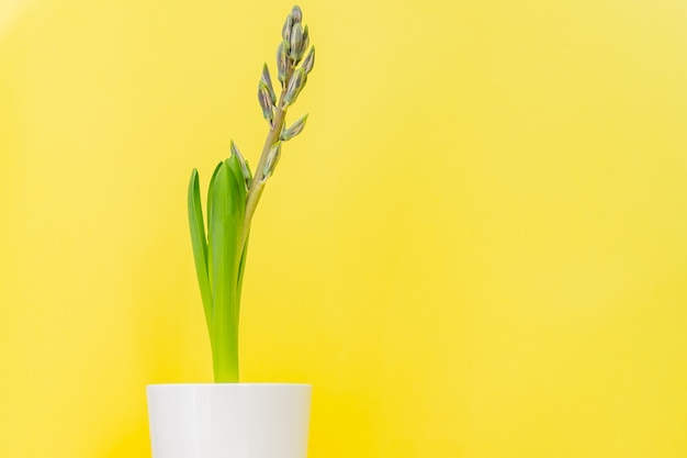Błękitny hiacyntowy kwiat zamykał pączek w białym ceramicznym garnku na żółtym tle. skopiuj miejsce