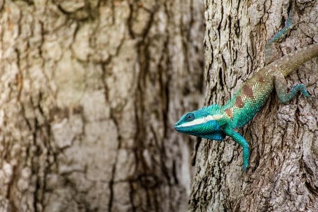 Błękitny kameleon w tropikalnym terenie na drzewie