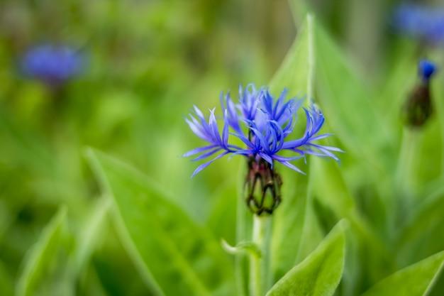 Błękitny kwiat chabrowy na zielonej trawie