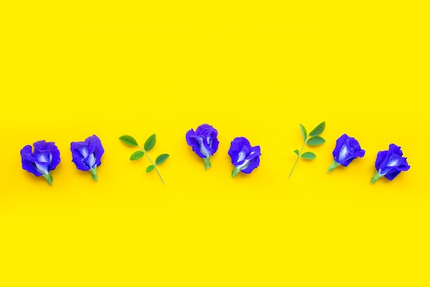 Błękitny motyliego grochu kwiat na żółtym tle.