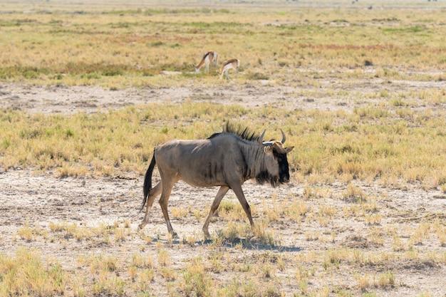 Błękitny wildebeest przy waterhole, okaukuejo, etosha park narodowy, namibia